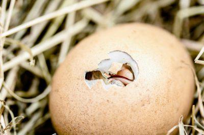 In je ei of uit je ei? Je moet alleen even de schil kraken…